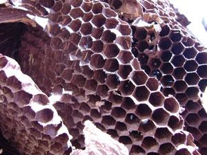 蜂の巣1.jpg